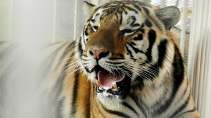FILE - In this Oct. 6, 2007, file photo, LSU mascot Mike VI, a part Bengal and Siberian tiger, sits in his cage on the field for his first time before an NCAA college football game between LSU and Florida in Baton Rouge, La. (AP Photo/Alex Brandon, File)